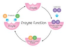 Enzyme function vector illustration