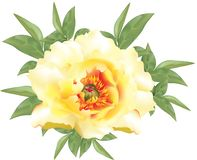 Bright yellow color peonies with leafs. Beautiful blossom of bright yellow color peony on white background royalty free illustration