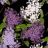 Seamless pattern with spring flowers. Beautiful decorative natural plants, lilac branch with leaves. Black background stock illustration