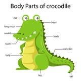 Illustrator of body parts of crocodile. For kid royalty free illustration