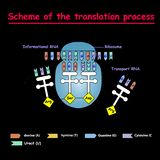 Scheme of the translation process. syntesis of mRNA from DNA in the nucleus. The mRNA decoding ribosome by binding of complementar. Y tRNA anticodon sequences to royalty free illustration