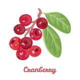 Cranberry isolated on white background. Branch with red berries and green leaves. vector illustration