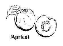 Apricot icon isolated on white background. Black and white image of fruit. vector illustration