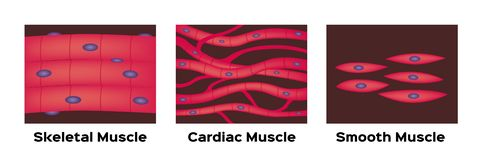Muscle type vector / cardiac , skeletal , smooth. On white stock illustration