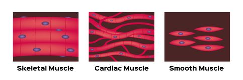 Muscle type  / cardiac , skeletal , smooth.  on white stock illustration