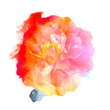 Print flower of a wild rose watercolor style. Stock Images