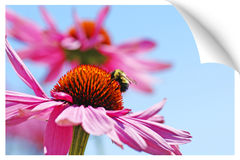 Print illusion of a bumblebee on coneflower. Paper picture illusion of  bumblebee drinking nectar on pretty pink coneflower, Echinacea purpurea against bright Stock Photo