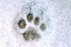 Print of a paw of a cat on white snow Stock Photography