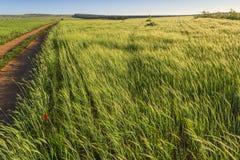 printemps Alta Murgia Nationa Park : paysage accidenté avec les champs de maïs verts Pouilles, ITALIE photographie stock