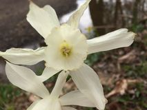 Printemps blanc et jaune de fleur images stock