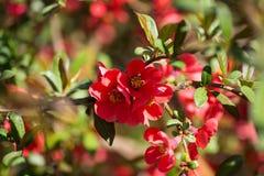 Printemps - buisson fleurissant - fleurs rouges Photos libres de droits