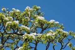 Printemps - cerisier fleurissant Photo stock