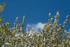 Printemps - cerisier fleurissant Photo libre de droits