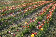 Printemps chez Tulip Farm Field Image stock
