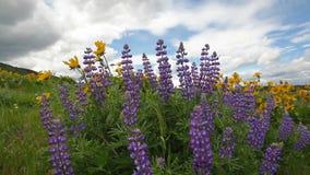 Printemps de floraison de Wildflowers dans Maryhill WA sur Windy Day clips vidéos