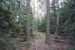 Printemps moyen de forêt de l'Europe de picéa impeccable photos libres de droits