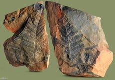 Prints of ancient plants. Stock Photo