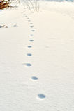 Prints of the paws of an animal in snow Stock Photography