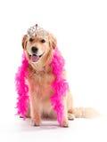 Prinzessin goldener Apportierhund Lizenzfreies Stockbild