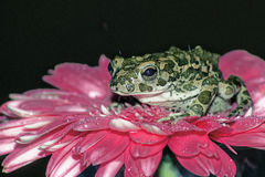 Prinzessinfrosch Stockbild