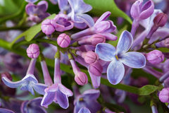 Période fleurissante de lilas Photographie stock