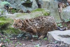 Prionailurus bengalensis. Amur leopard cat or Prionailurus bengalensis royalty free stock images