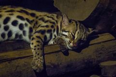 Prionailurus bengalensis in the zoo is sleeping. Prionailurus bengalensis is a small tiger mammal. The shape is the same as the house cat royalty free stock photo