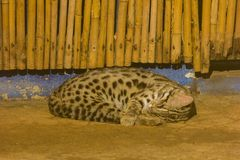 Prionailurus bengalensis is sSleeping on the floor royalty free stock photography