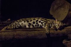 Prionailurus bengalensis in the zoo is sleeping. stock photos