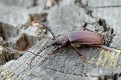 Prionus coriarius. A large beetle of barbel. Fauna of Ukraine stock images
