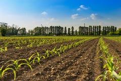 Priorità alta delle file di piccole piante di cereale dall'agricoltura biologica in Italia con blu Immagini Stock Libere da Diritti