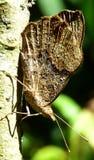 Priorità alta di una farfalla marrone Fotografie Stock Libere da Diritti