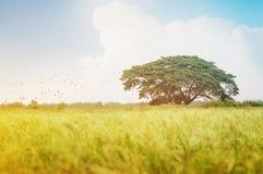Priorità alta verde del giacimento del riso con la folla degli uccelli Immagine Stock Libera da Diritti
