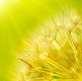 Priorità bassa astratta del fiore del dente di leone Fotografia Stock