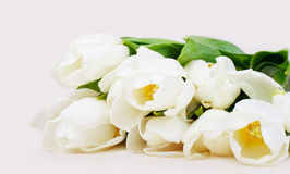 Priorità bassa bianca dei tulipani Fotografia Stock