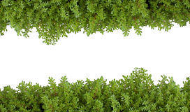 Priorità bassa bianca isolata verde della felce. Fotografia Stock