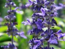 Priorità bassa blu e verde del giardino di fiore immagini stock
