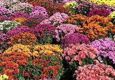 Priorità bassa Colourful del crisantemo Fotografie Stock Libere da Diritti
