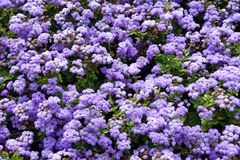 Priorità bassa con i fiori del ageratum Fotografia Stock Libera da Diritti