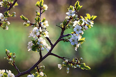 Priorità bassa con i fiori della sorgente Fotografia Stock Libera da Diritti