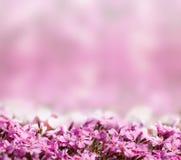 Priorità bassa con i fiori sboccianti di colore rosa Fotografia Stock