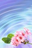 Priorità bassa con il geranio dei fiori Immagine Stock Libera da Diritti