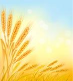 Priorità bassa con le orecchie gialle mature del frumento. illustrazione di stock
