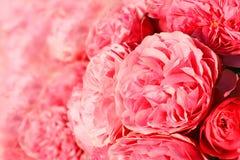 Priorità bassa con le rose dentellare Fotografie Stock