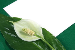 Priorità bassa con un fiore bianco Fotografie Stock
