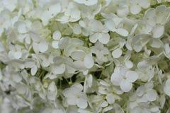 Priorità bassa dei fiori bianchi Fotografie Stock Libere da Diritti