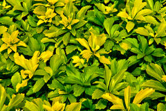 Priorità bassa dei fogli giallo verde Fotografie Stock Libere da Diritti