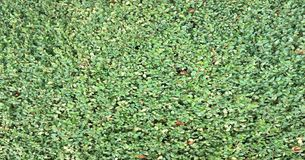 Priorità bassa dei fogli verdi freschi Il verde lascia la priorità bassa Fondo verde con le foglie Disposizione piana, spazio lib Fotografie Stock Libere da Diritti