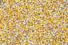 Priorità bassa dei noccioli di cereale Fotografie Stock