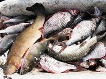 Priorità bassa dei pesci freschi Fotografie Stock